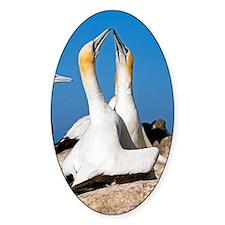 Australasian gannets Decal