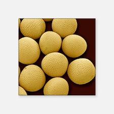 "Black mustard seeds, SEM Square Sticker 3"" x 3"""