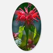 Bergamot (Monarda 'Squaw') Decal