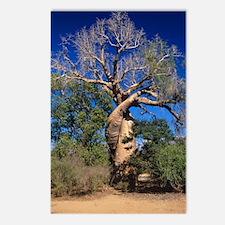 Baobab tree Postcards (Package of 8)