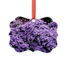 Aster flowers (Aster 'Little Carl Ornament