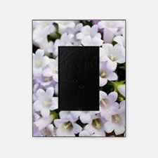 Bellflowers (Campanula carpatha) Picture Frame