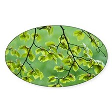 Beech tree leaves (Fagus sylvatica) Decal