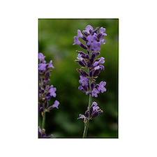 Lavender Rectangle Magnet
