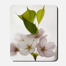 Yoshino cherry (Prunus x yedoensis) Mousepad