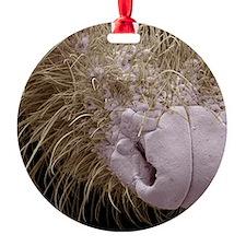 Shrew nose, SEM Ornament