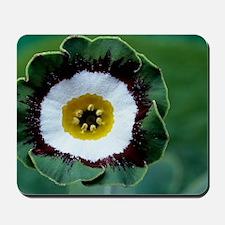 Show auricula 'Tosca' flower Mousepad