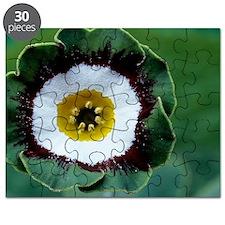 Show auricula 'Tosca' flower Puzzle