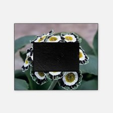 Show auricula 'Serenity' flowers Picture Frame