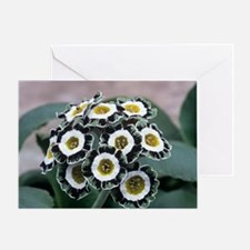 Show auricula 'Serenity' flowers Greeting Card