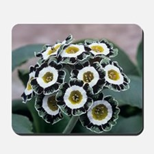Show auricula 'Serenity' flowers Mousepad