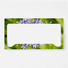 Scilla peruviana flowers License Plate Holder