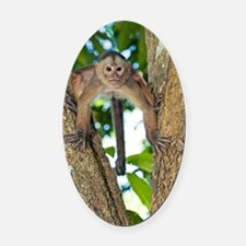White-fronted capuchin monkey Oval Car Magnet