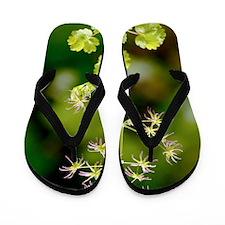 Thalictrum occidentale Flip Flops