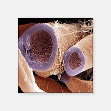 """Nerve fibres, SEM Square Sticker 3"""" x 3"""""""