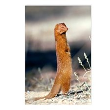 Slender mongoose Postcards (Package of 8)