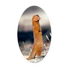 Slender mongoose Oval Car Magnet