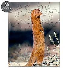 Slender mongoose Puzzle