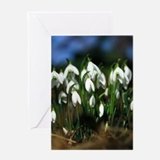 Snowdrops (Galanthus sp.) Greeting Card