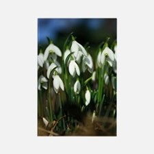 Snowdrops (Galanthus sp.) Rectangle Magnet