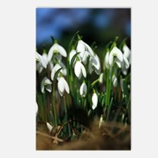 Snowdrops (Galanthus sp.) Postcards (Package of 8)