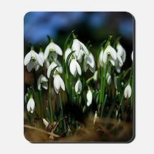 Snowdrops (Galanthus sp.) Mousepad