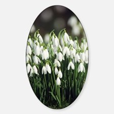 Snowdrops (Galanthus nivalis) Sticker (Oval)