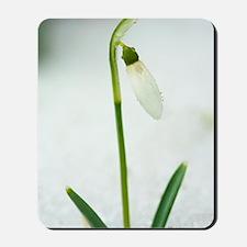 Snowdrops (Galanthus nivalis) Mousepad