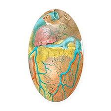 Heart anatomy, artwork Oval Car Magnet
