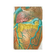 Heart anatomy, artwork Rectangle Magnet