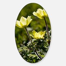 Pulsatilla alpina ssp. apiifolia Decal