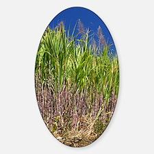 Sugar cane Sticker (Oval)