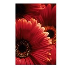 Gerbera flowers Postcards (Package of 8)