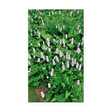 Persicaria bistorta 'Superba' Rectangle Car Magnet