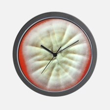 Penicillium fungus growing on agar Wall Clock