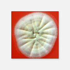 """Penicillium fungus growing  Square Sticker 3"""" x 3"""""""