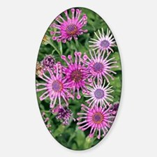 Osteospermum 'Nasinga Purple Aksull Decal