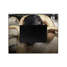Scottish blackface ram Picture Frame
