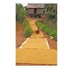 Rice grains drying Postcards (Package of 8)