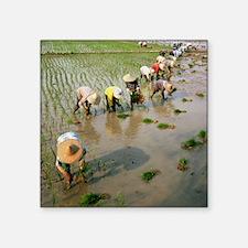 """Rice farmers Square Sticker 3"""" x 3"""""""