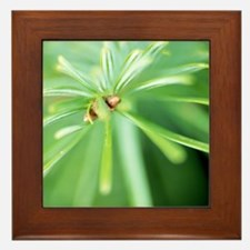 Conifer leaves Framed Tile
