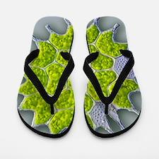 Pediastrum green algae, light micrograp Flip Flops