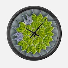 Pediastrum green algae, light mic Large Wall Clock