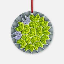 Pediastrum green algae, light micro Round Ornament