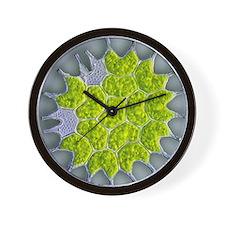 Pediastrum green algae, light micrograp Wall Clock
