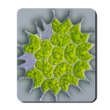 Pediastrum green algae, light micrograph Mousepad