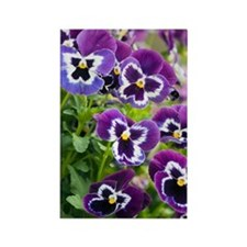 Pansy (Viola x wittrockiana) Rectangle Magnet