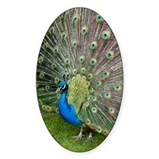 Peacock Decal
