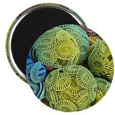 Calcareous phytoplankton, SEM Magnet