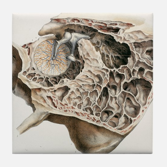 Middle ear anatomy, 1844 artwork Tile Coaster